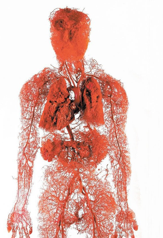 układ krwionośny - krwiobieg